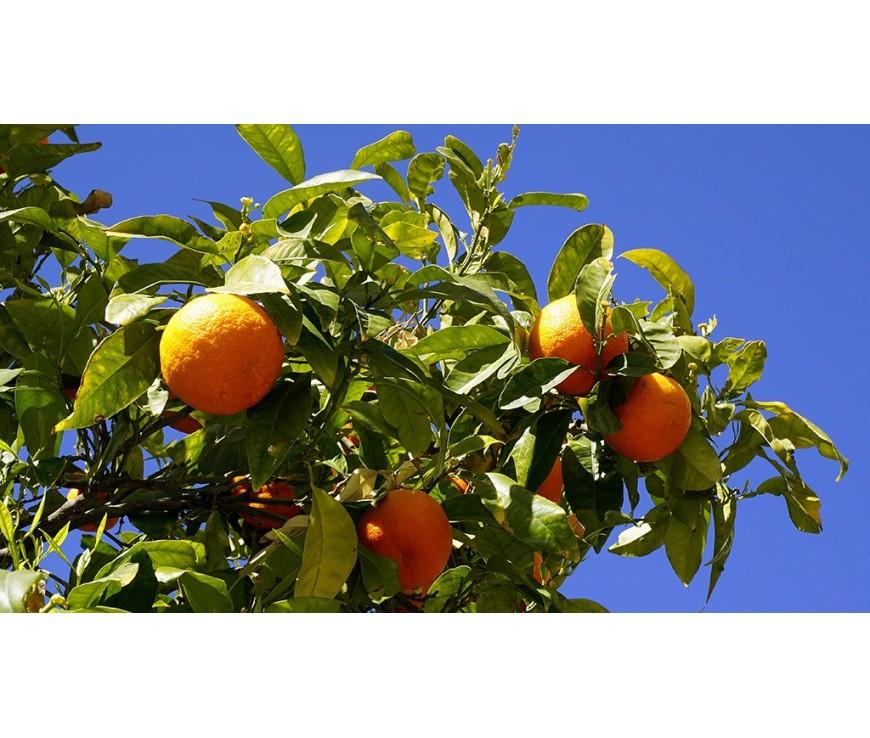Perché comprare arance biologiche